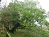 弓の木(三日月のムクノキの古木:兵庫県天然記念物)